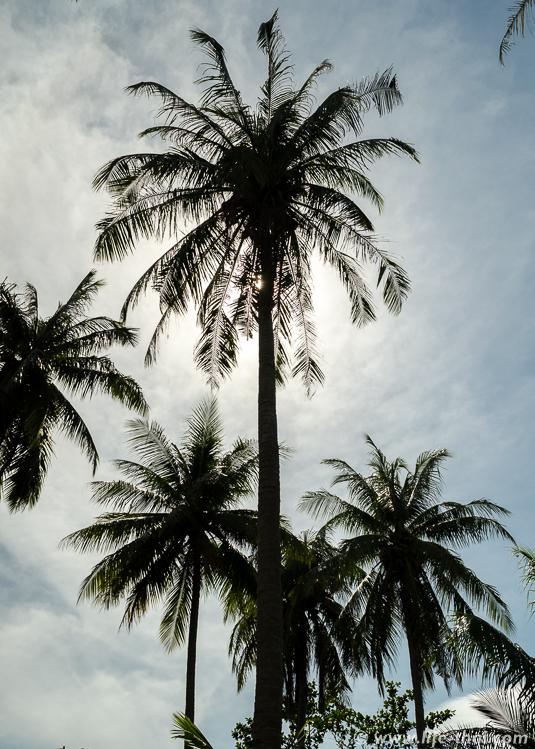 Пальмы, Таиланд