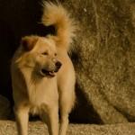 Собачья жизнь в Таиланде