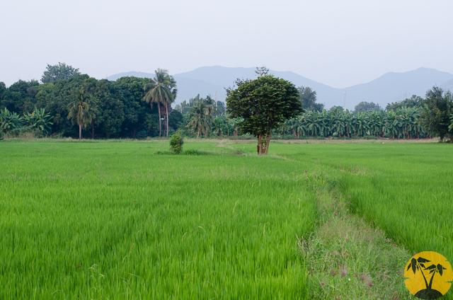 Рисовое поле в Канчанабури