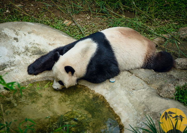 Панда пьёт воду