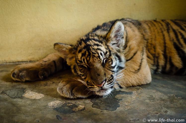 Спящие тигры, Чинаг Май, Таиланд