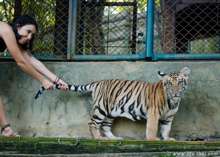 Не тяните тигра за хвост!