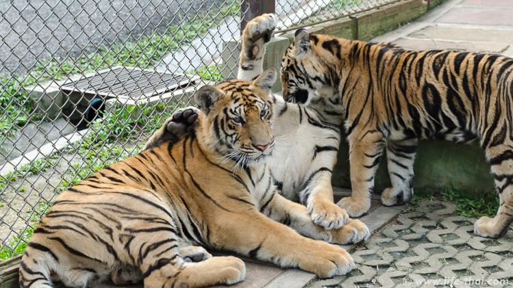 Фото тигра, Чианг Май, Таиланд