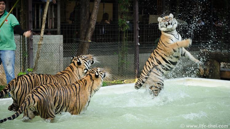 Тигры в бассейне, Чианг Май, Таиланд