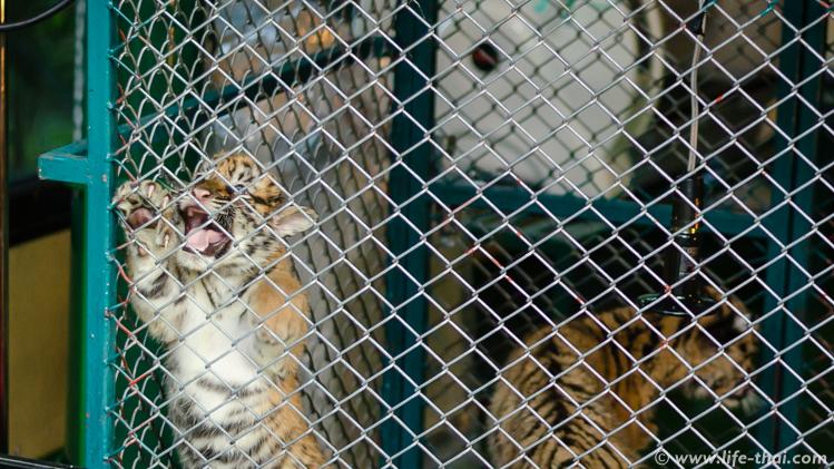 Малыш-тигрёнок, Тигриное королевство в Чианг Мае, Таиланд, фото