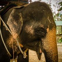 Слон, Самуи, Таиланд