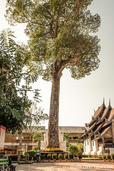 Достопримечательность Чиангмая - дерево-дух города