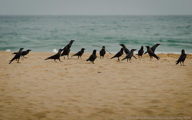 Вороны, Шри Ланка