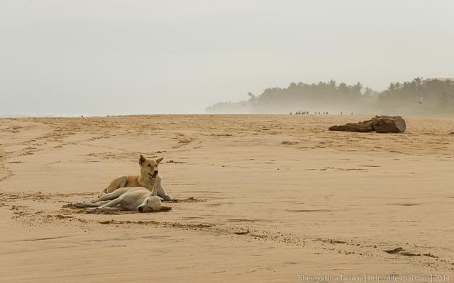 Собаки, Шри Ланка