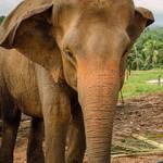 Слоновий приют в Пиннавела