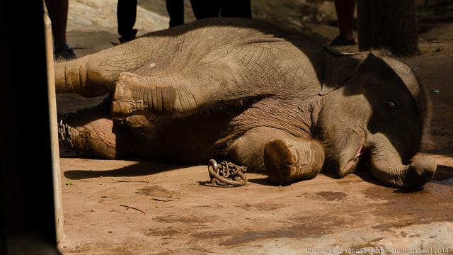 Слонёнок, Шри Ланка