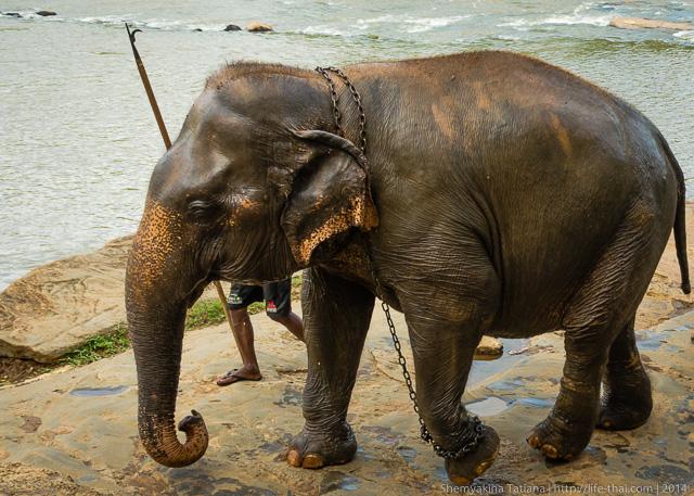 Слон, Шри Ланка