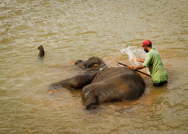 слон, река, Шри Ланка