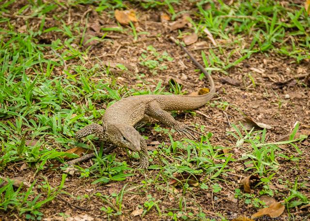 Варан, Шри Ланка
