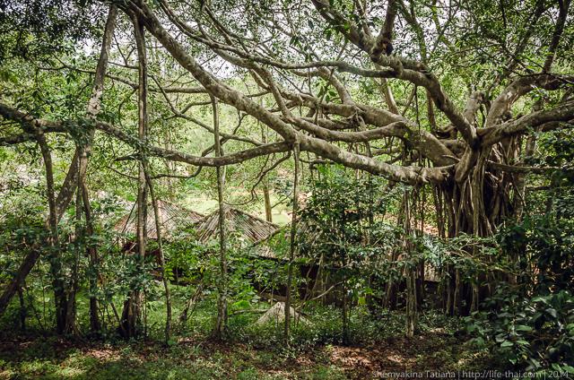 Шагающее дерево, Шри Ланка