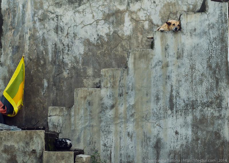Пёс, Шри Ланка