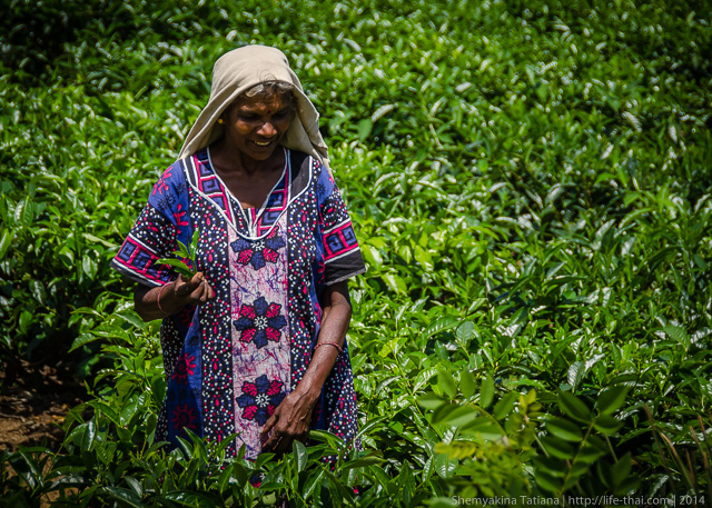 Женщина на чайных плантациях, Шри Ланка