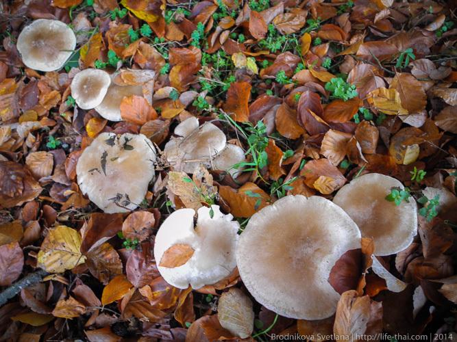 Лисички, грибы в Австрии
