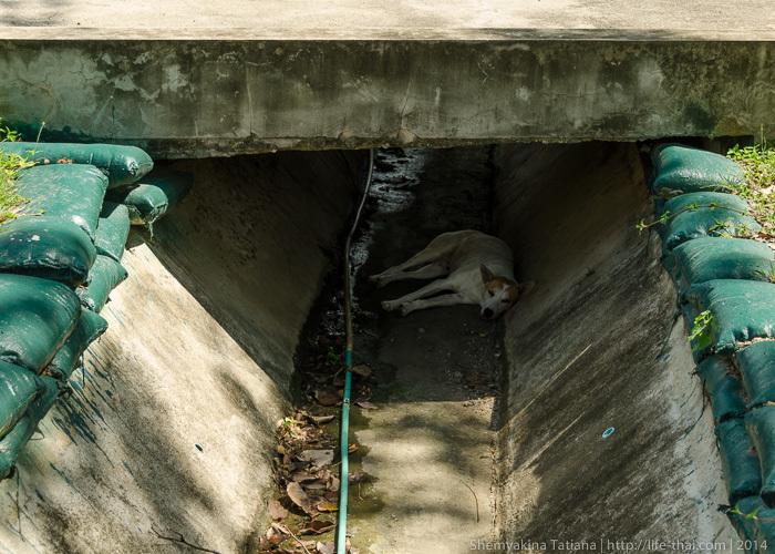 Тайские собаки, Канчанабури