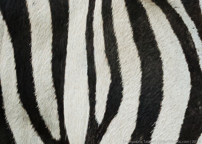 Зебры, Канчанабури Сафари Парк