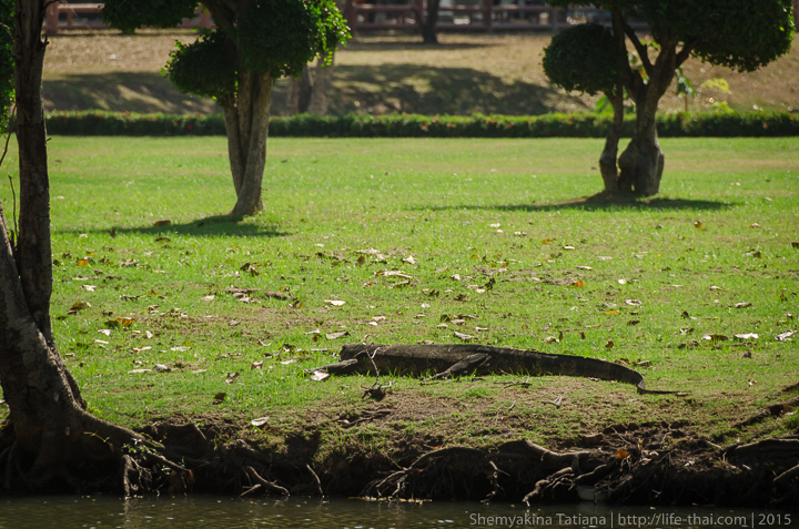 Варан, Аюттайя, Таиланд