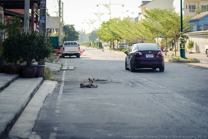 собаки, Аюттайя, Таиланд
