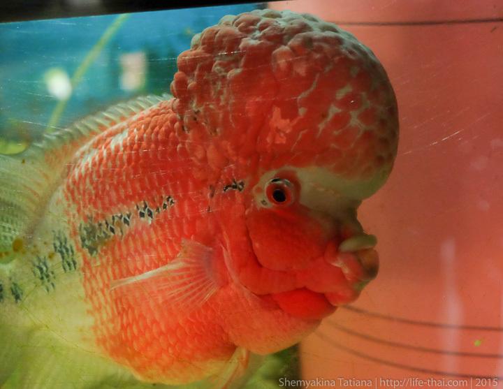 Фловер Хорн, азиатская аквариумная рыбка
