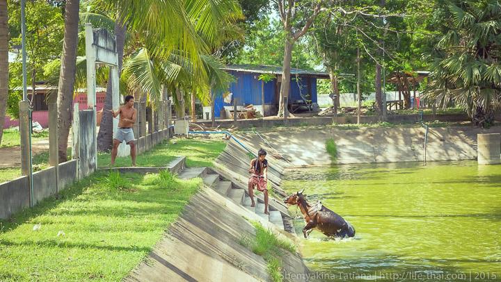 Корова, Таиланд
