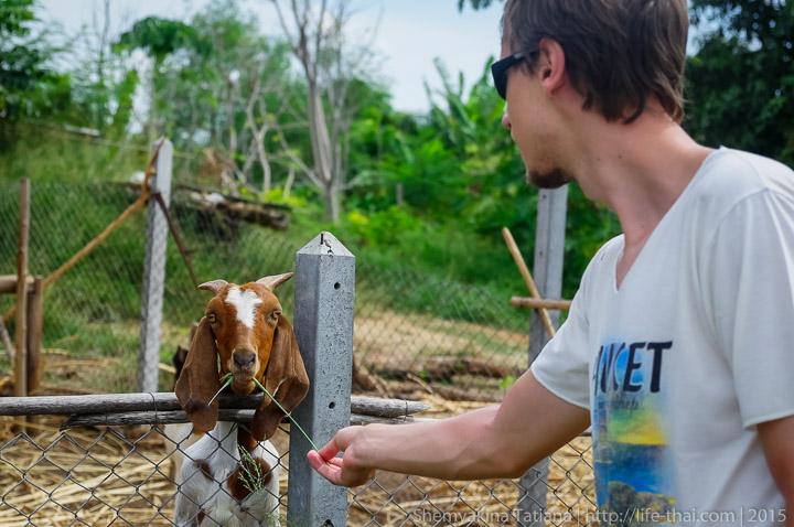 Козы, Таиланд