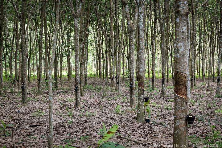 Каучуковая плантация, Лангкави, Малайзия