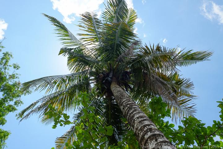 Пальма, остров Лангкави, Малайзия