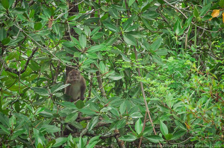 Обезьяна, остров Лангкави, Малайзия