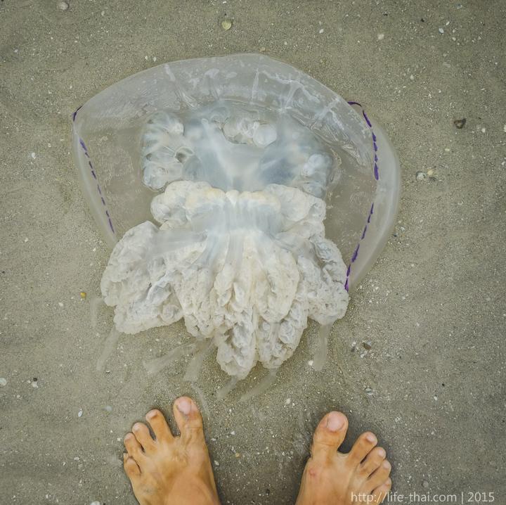 Медуза корнерот в Азовском море