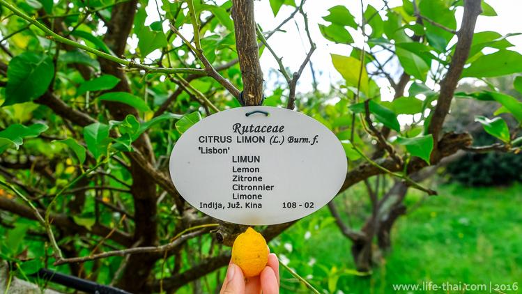 Лимон, Дендрариум Трстено