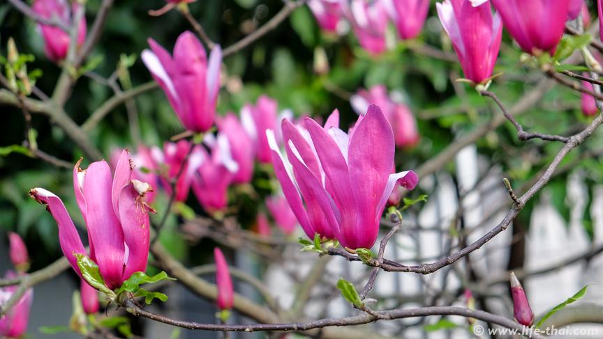Весна в Черногории, цветёт магнолия