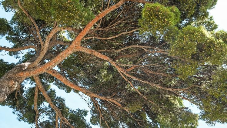 Дерево, Салона, Сплит, Хорватия