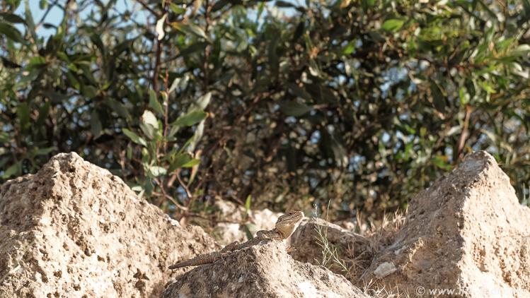 Ящерка на Кипре