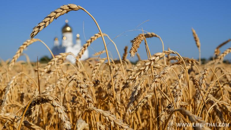 Поле с пшеницей на Тамани, Россия