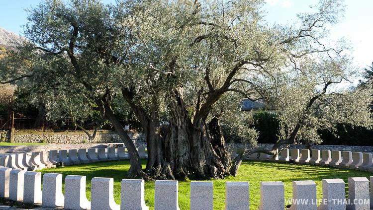 Старая маслина в Баре, Черногория