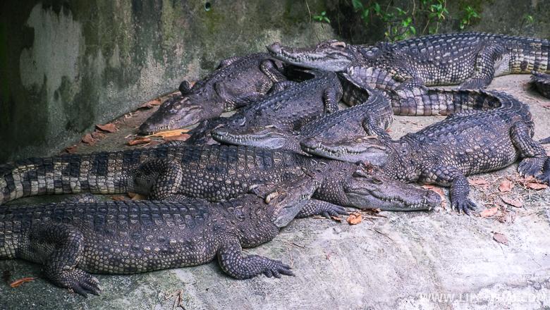 Крокодилы в пруду, Пхукет, Таиланд