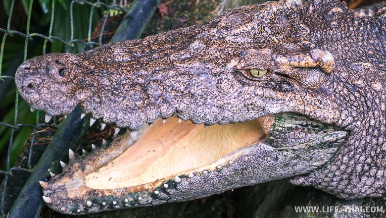 Крокодил в пруду, Пхукет, Таиланд