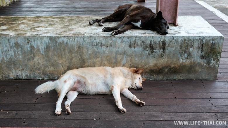 Утомлённые тайские собаки, Пхукет