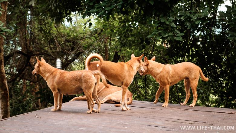 Рыжие собаки на горе обезьян, Пхукет
