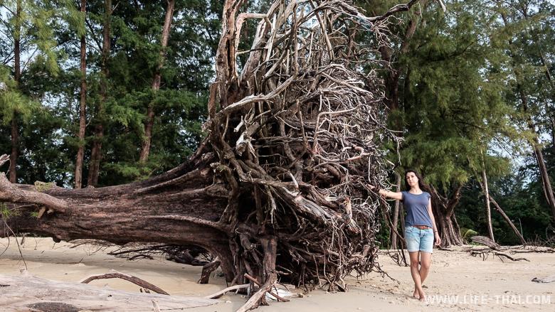 Огромные деревья в национальный парк Сиринат на Пхукете, Таиланд