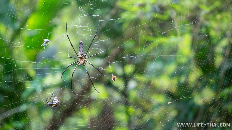 Огромный паук около водопада на Пхукете, Таиланд