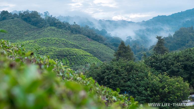 Чайные плантации Камерон Хайлендс, Малайзия
