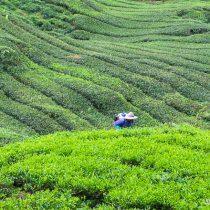 Сборщик чая на плантации, Нагорье Камерон, Малайзия