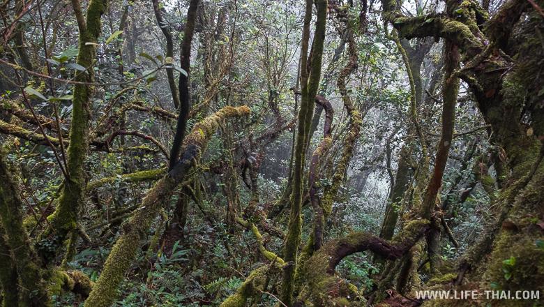 Мшистый лес (Mossy Forest) на вершине горы Бринчанг, Малайзия