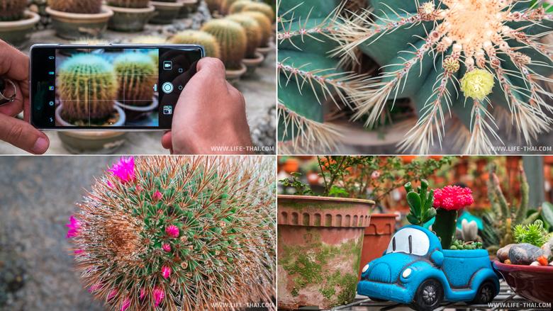 Цветущий кактус в долине кактусов, Камерон Хайлендс, Малайзия