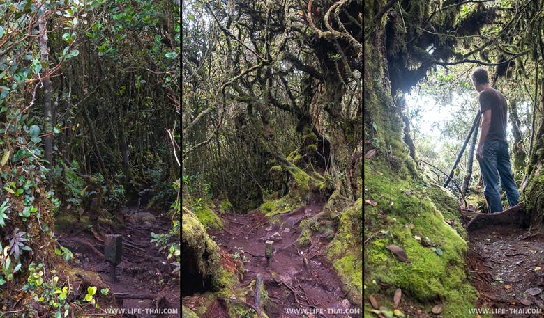 Мшистый лес, вершина Бринчанг, Малайзия